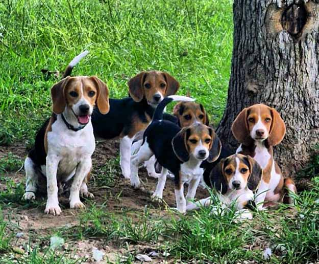 Run Them With The Big Dogs | The Do's and Don'ts of Beagle Hunting