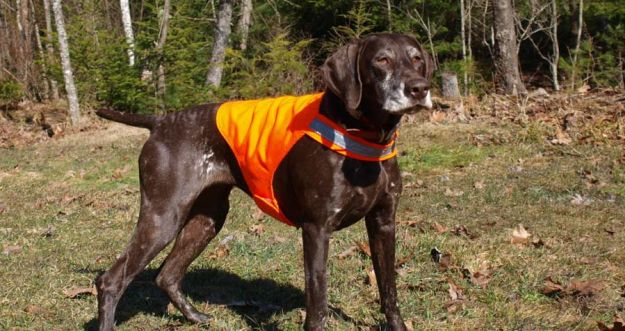 Dog Vest | Fido On The Hunt - A Complete Guide To Dog Hunting Gear