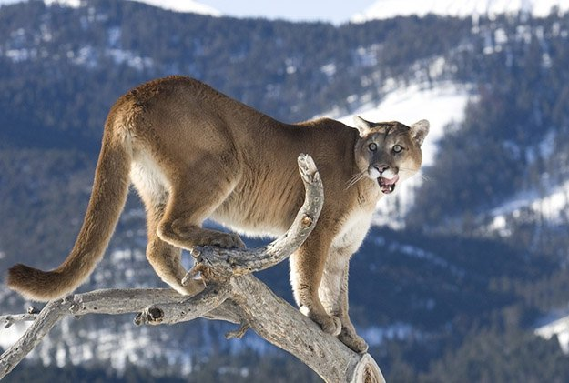 Territory | 10 Remarkable Facts About Mountain Lions