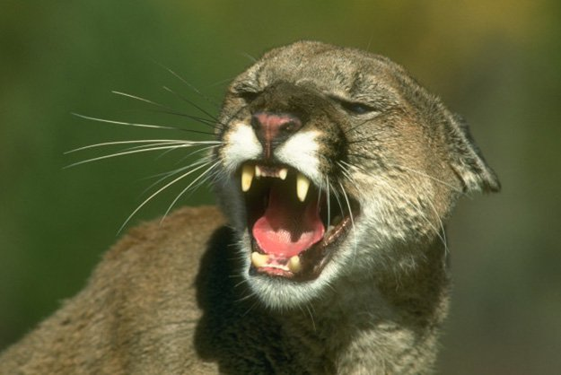 A Hissing Standoff or a Fight to the Death? | 10 Remarkable Facts About Mountain Lions