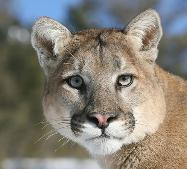 Lifespan and Size plus Weight | 10 Remarkable Facts About Mountain Lions