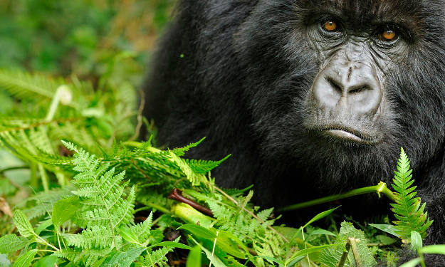 Gorillas | Wild Animal Attacks | What To Do When Attacked By Ferocious Beasts