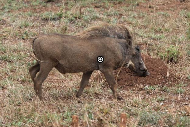 Aim for the heart | Wild Hog Hunting Tips: Where To Shoot Them