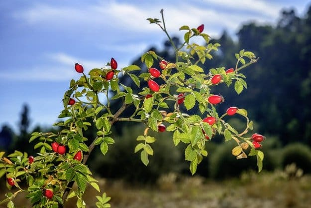 Wild Rose Hips | A Great Drink for Comfort and Health