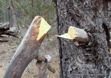 pitchwood