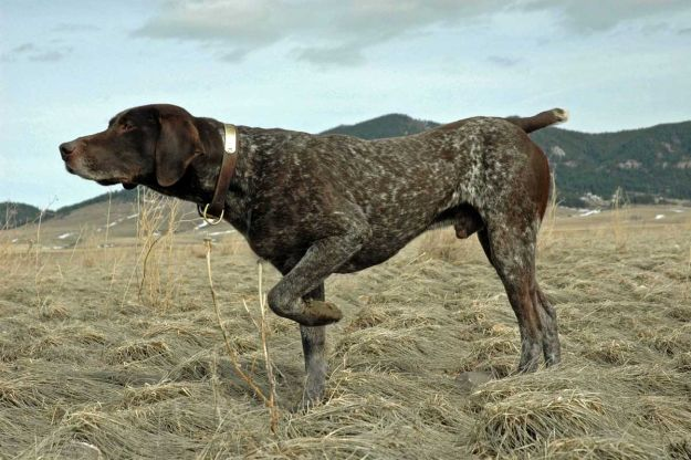 German Shorthaired Pointer | The 10 Best Bird Hunting Dogs For All Types Of Game And Hunts