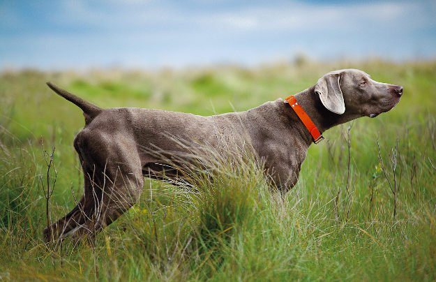 Weimaraner | Perfect Breeds of Hunting Dogs As Your Companion