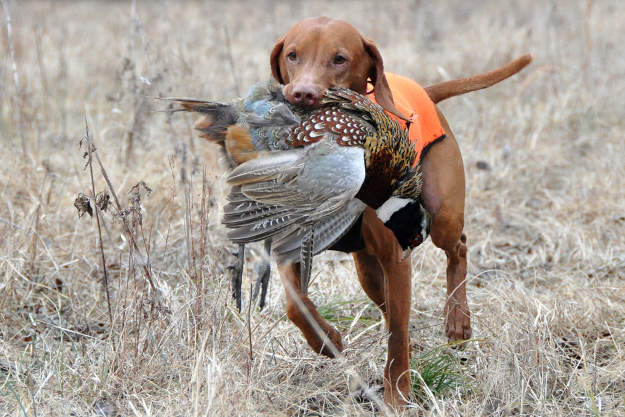Bring a dog | Practical Quail Hunting Tips Every Hunter Should Follow
