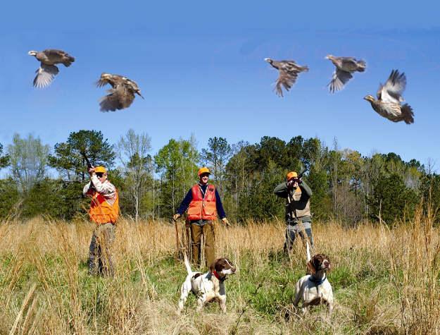 Don't shoot a low-flying quail | Practical Quail Hunting Tips Every Hunter Should Follow