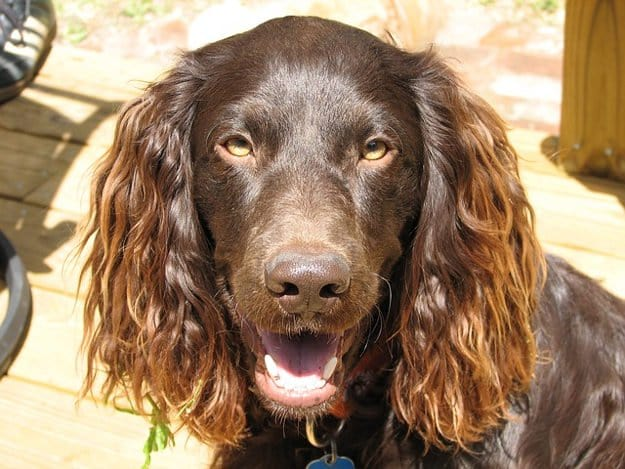 Boykin Spaniel | The 10 Best Bird Hunting Dogs For All Types Of Game And Hunts