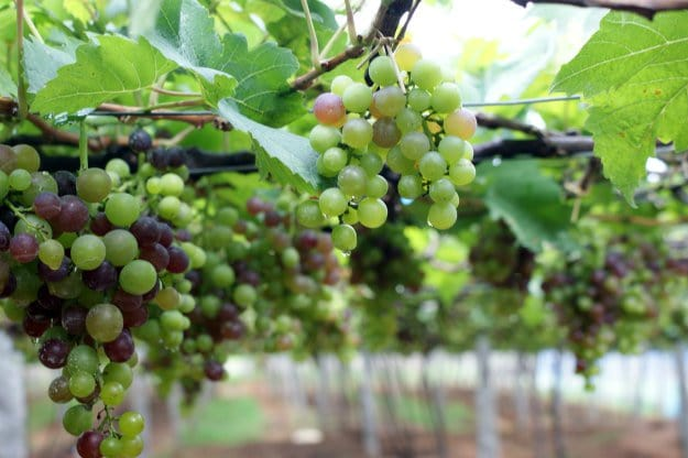 8 Baking Soda Uses For Your Survival Garden To Try grapes