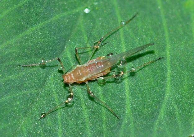 Aphids   Beneficial Insects For The Garden: Good Bugs Vs. Bad Bugs