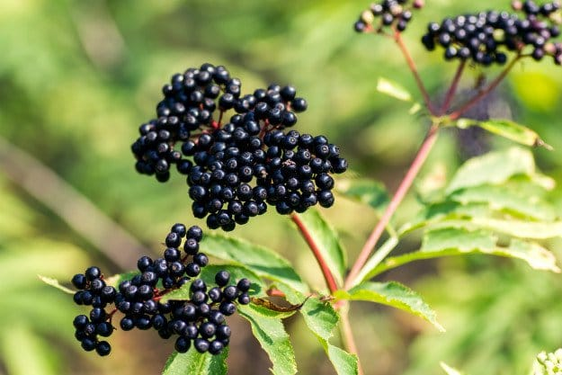 Elderberry | Triple A's of Nature's Medicine: Antiviral ~ Antibacterial ~ Antibiotic