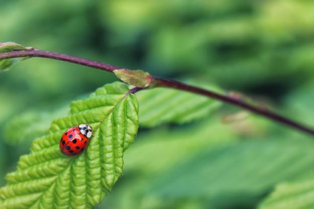 Lady Bugs   Beneficial Insects For The Garden: Good Bugs Vs. Bad Bugs