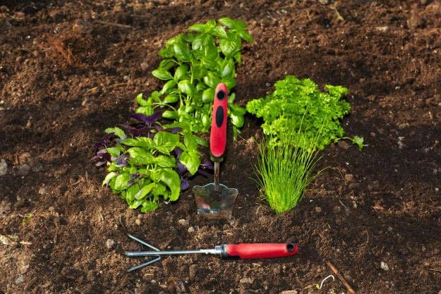 parsley | Beginner's Guide To Having an Outdoor Herb Garden | Survival Gardening