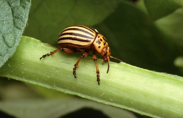 Potato Beetles   Beneficial Insects For The Garden: Good Bugs Vs. Bad Bugs