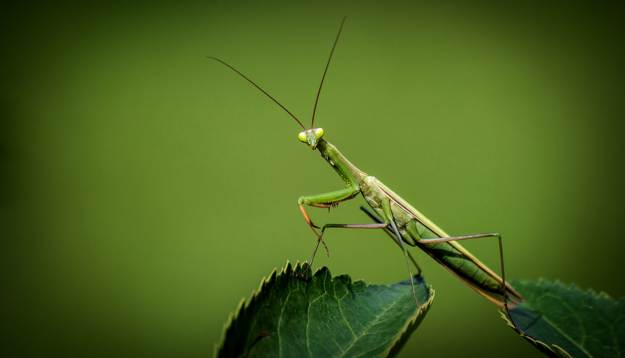 Praying Mantis   Beneficial Insects For The Garden: Good Bugs Vs. Bad Bugs