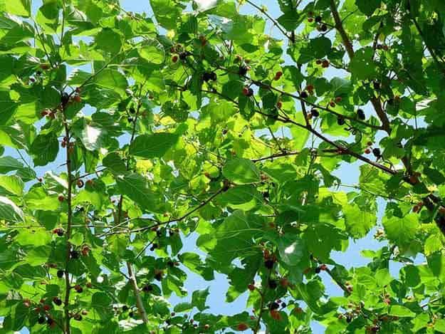 Berries   20 Survival Gardening Plants For Spring