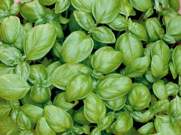 Basil | 20 Survival Gardening Plants For Spring