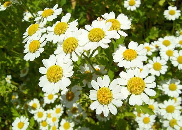 Chamomile | 20 Survival Gardening Plants For Spring