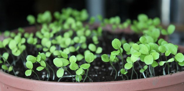 How To Grow Lettuce From Seed In Flower Pots | Survival Gardening - How To Grow Lettuce Indoors