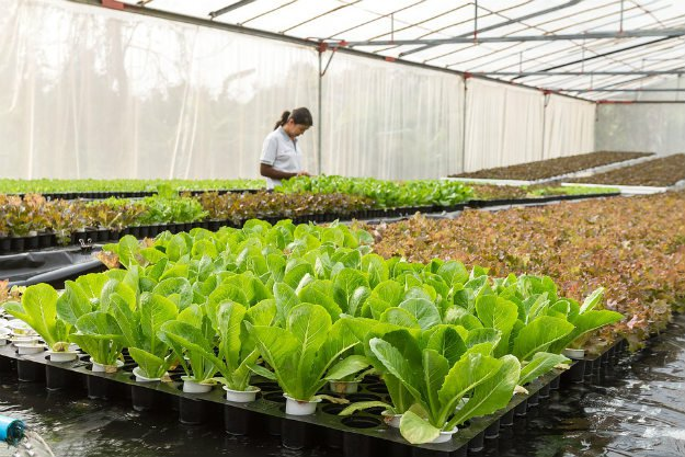 Harvesting Your Lettuce | Survival Gardening - How To Grow Lettuce Indoors