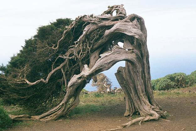 Scan for Fallen Juniper Trees | Create A Shelter Out of A Juniper Tree for Survival