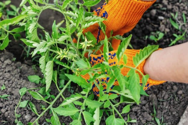 Check out Survival Gardening Hacks To Achieve The Perfect Tomato Plant at https://survivallife.com/survival-gardening-hacks-tomato-plant/