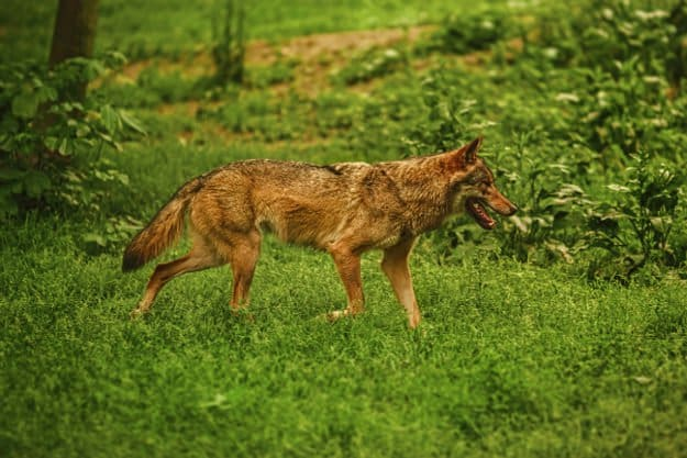 Coyotes | How To Identify & Stop The 8 Top Predators That Prowl Your Homestead