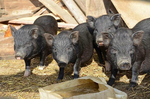 Buy 8-week-old Piglets | Tips for Raising Healthy Pigs