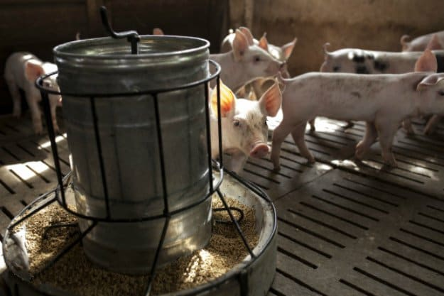 Feed and Water | Tips for Raising Healthy Pigs