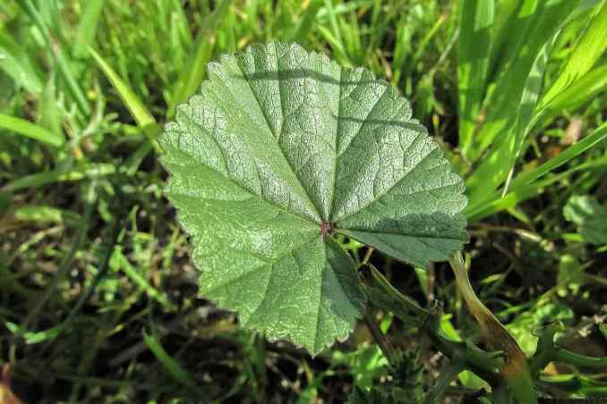 Marsh Mallow | Medicinal Plants You Can Grow In Your Backyard | Survival Life