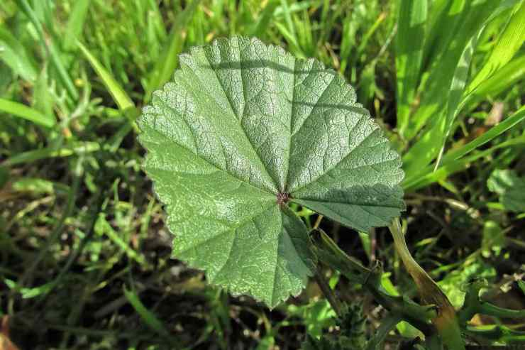 Marsh Mallow   Medicinal Plants You Can Grow In Your Backyard   Survival Life