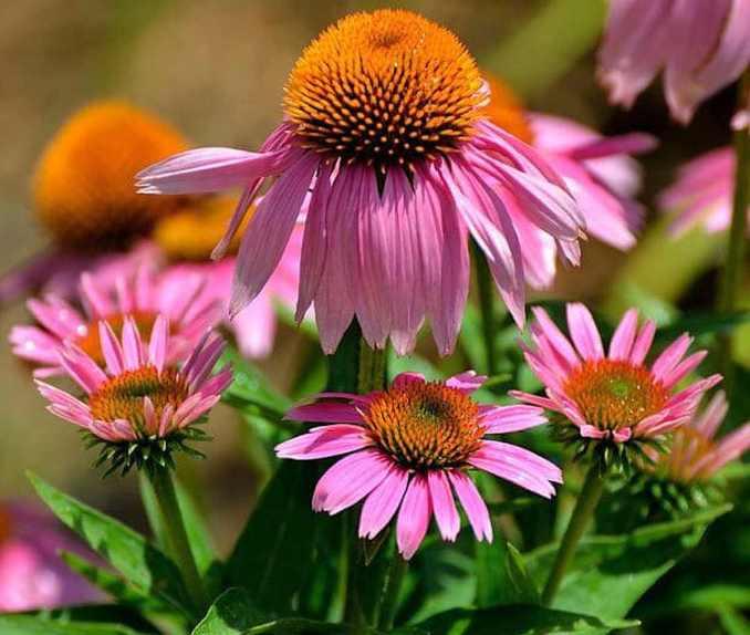 Echinacea | Medicinal Plants You Need To Make Natural Home Remedies | Survival Life | medicinal herb plants