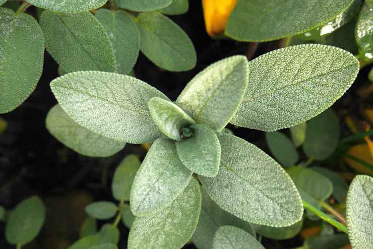 Sage   Medicinal Plants You Need To Make Natural Home Remedies   Survival Life   medicinal herb plants