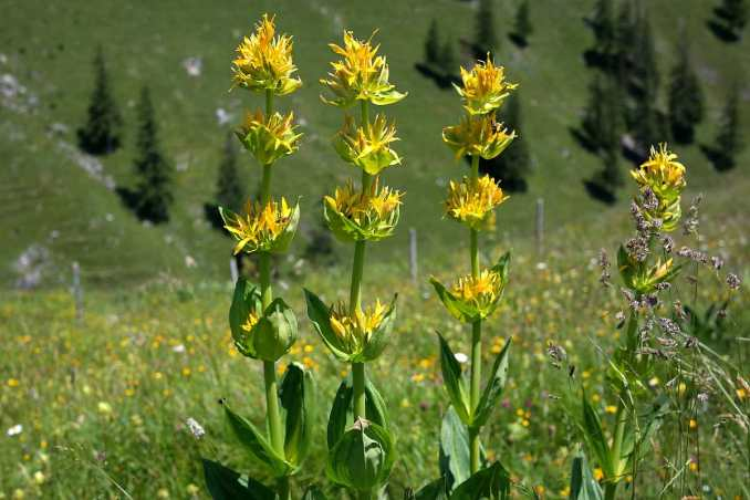 Yellow Gentian | Medicinal Plants You Need To Make Natural Home Remedies | Survival Life | medicinal herb plants