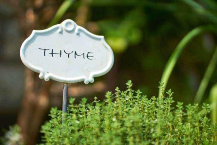 Thyme plants | Incredible Medicinal Herbs For Your Indoor Garden