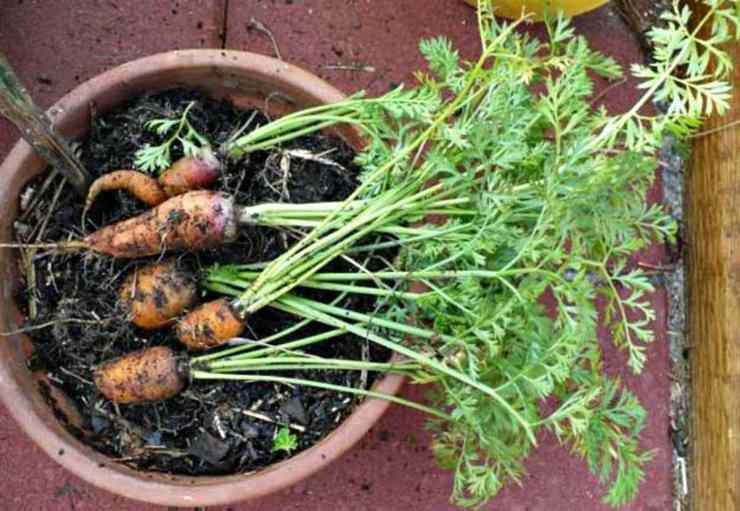 Carrot plant in a basket | Container Gardening Tips For Preppers And Survivalists