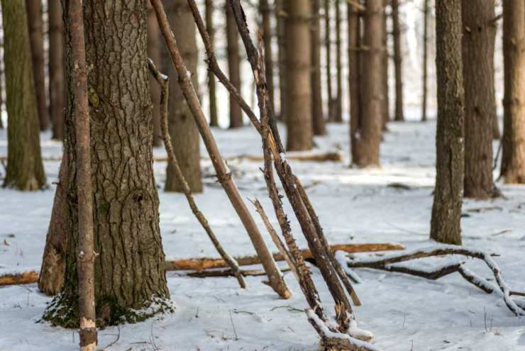 Wood sticks leaning in pine tree forest   Survival Uses Of Pine Resin