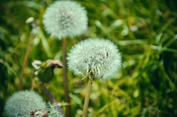 "Blooming Dandelions | Benefits of Dandelions | More Reason To Love The Survival ""Weed"""