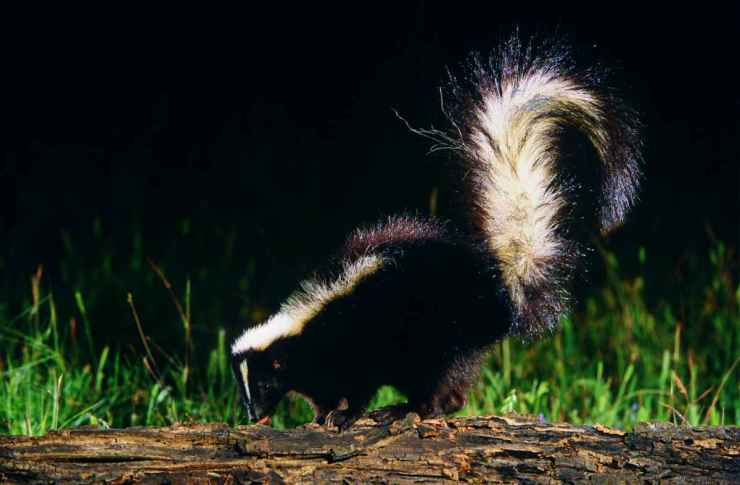 Skunk on a wood at night | How To Deter Skunks With These 7 Reliable Steps | Food Sources
