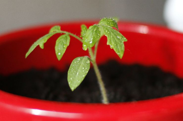 Grow Tomato Seedlings in a Pot | Gardening Tips and Tricks You Can Use Right Now!