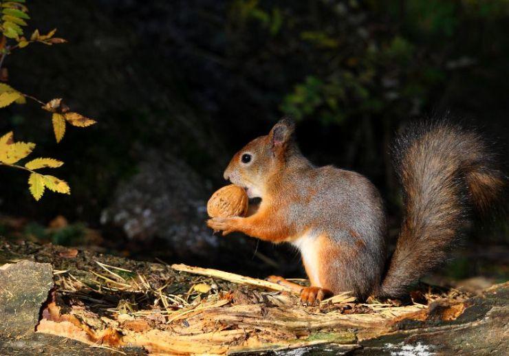 european red squirrel   survival snare wire