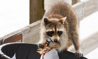 Raccoon looking for food in trash can | raccoon deterrent | featured ss |How To Get Rid of Raccoons