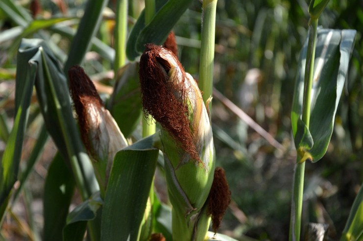 Corn   The Best Plants to Grow for your Summer Garden