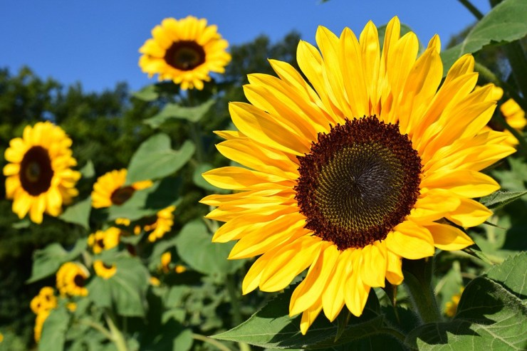 Sunflowers   The Best Plants to Grow for your Summer Garden