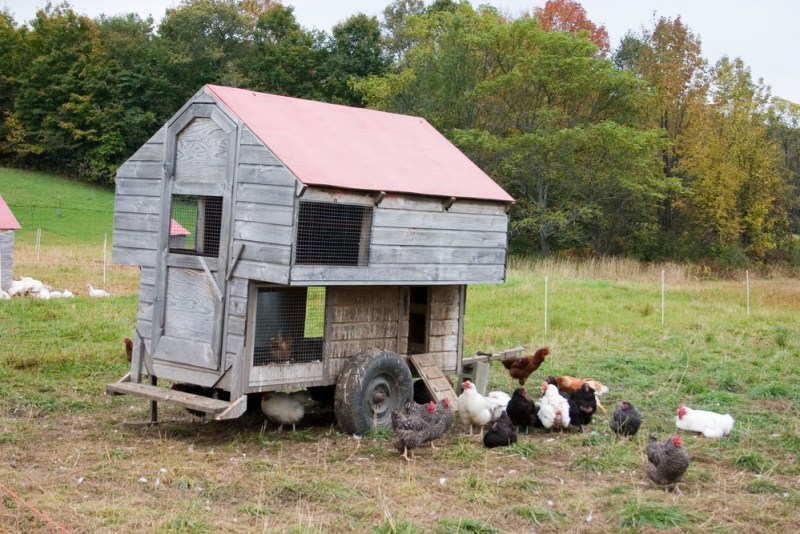Free Range Chickens Can Still Use a Coop | How to Raise Free-Range Chickens