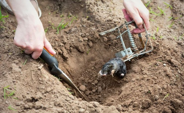 farmer-caught-mole-steel-trap | animal trapping
