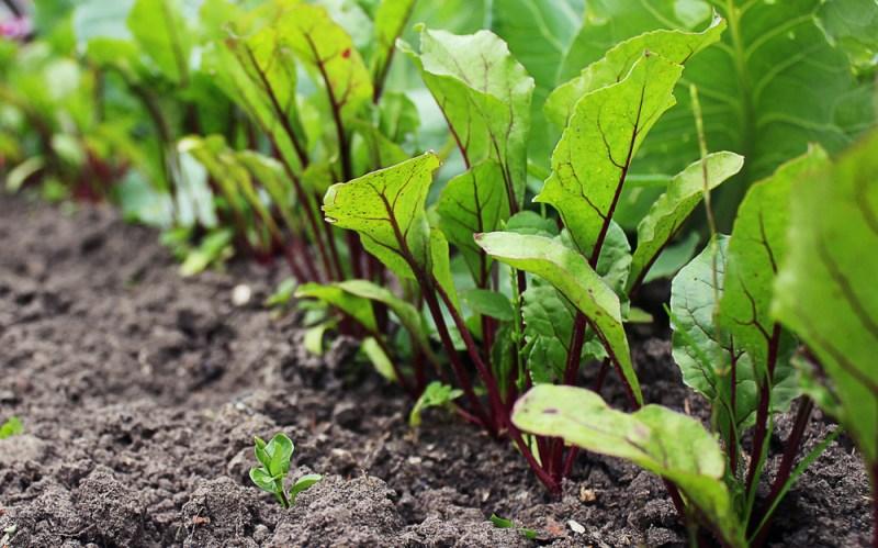 Dark Leafy Greens | Planning a Real Fall Garden