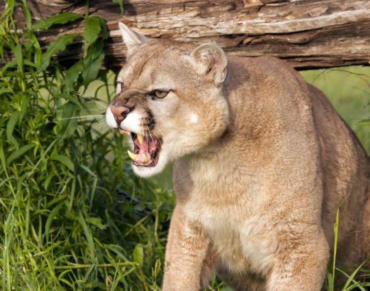 Mountain Lion | Surviving Predator Attacks